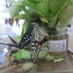 蝶になってる!アゲハ蝶や!の様子