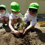 苗は野菜の赤ちゃん…優しく両手で土をかけてあげますの様子