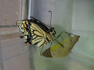 蛹につかまり羽を乾かして!の様子
